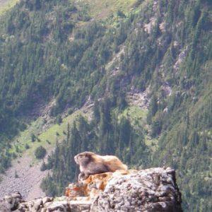 Marmot in Skeena-Stikine