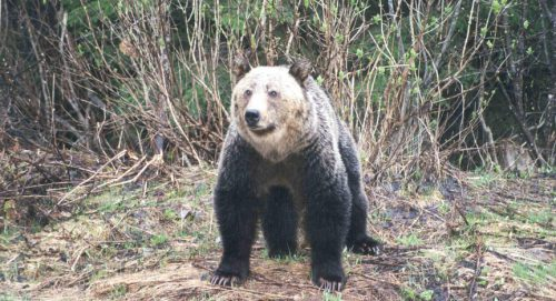 Image #W0003_Lardeau River Grizzly Bear