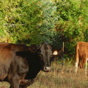 ARC205-Cattle-in-field