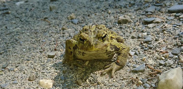 Adult_Toad