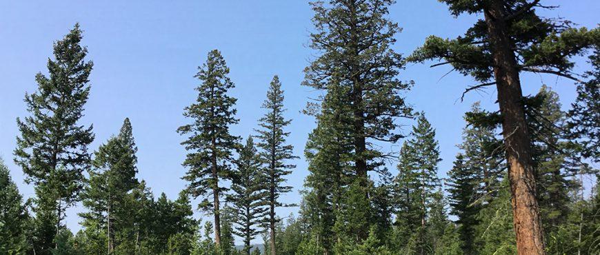 Regenerating dry interior Douglas-fir forests proves ...  Douglas Fir Forest